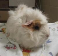 "Adult Female Small & Furry - Guinea Pig: ""Pearl"""