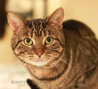 "Adult Male Cat - Domestic Short Hair: ""Willie"""