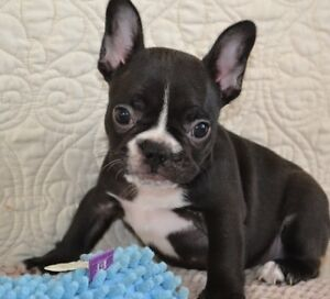 fine boy and girl french bulldog pups for sale