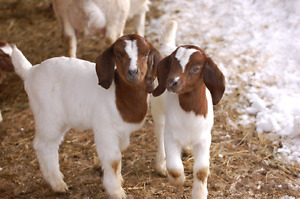 Looking for Boer Goat Kids