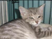"Baby Female Cat - Domestic Short Hair: ""Norrie 15 (Aylmer)"""
