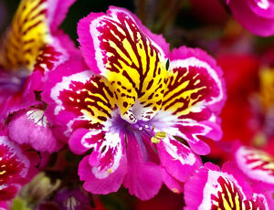 ANGEL-WINGS-MIX-2000-SEEDS-Schizanthus-wisetonensis-ANNUAL-FLOWER