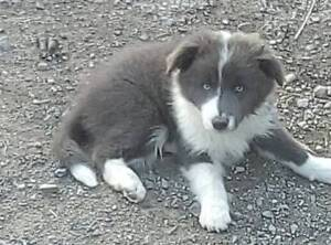 Border Collie pups 9 weeks available now