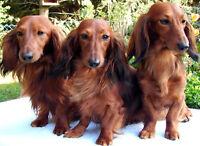WTB: Mini Dachshund Puppy