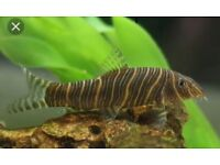 Tropical fish yo-yo loach