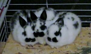 Polish - Netherland Dwarf Cross Bunnies