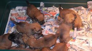 Wheaten Terrier puppies-CKC registered Kitchener / Waterloo Kitchener Area image 2