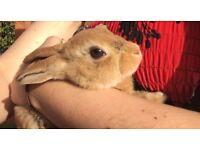 Mini Rex rabbit Buck male bunny
