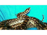 9 ft coastal carpet python friendly with full set up