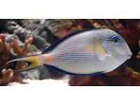 MARINE FISH / LOVELY SOHAL TANG HEALTHY AND FEEDING WELL