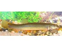 Weather loach fish for sale £2
