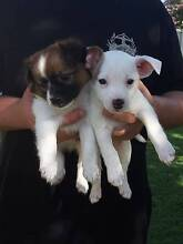 Mini Foxie x Chihuahua puppies Telarah Maitland Area Preview
