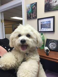 "Adult Male Dog - Poodle-Maltese: ""Clancy"""