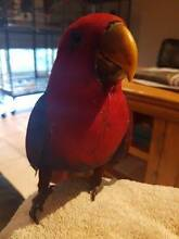 Gorgeous hand-raised female Red Sided Eclectus Parrot - Dot Kambah Tuggeranong Preview