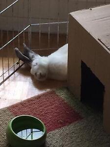 "Adult Female Rabbit - Californian: ""Minnie"" Cambridge Kitchener Area image 2"
