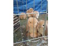 3 Pure Bred Mini lops