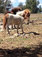 Ponytails Springtime Seymour Mitchell Area Preview