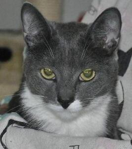Adult Female  - Domestic Short Hair - gray and white