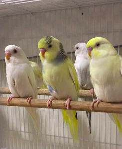 HAND REARED/TAME BUDGIES $25 + CAGE PACKAGES AVAILABLE Gilles Plains Port Adelaide Area Preview