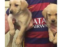 chunky golden Labrador puppy