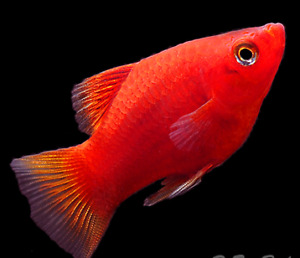 Red Mollie , Red / Black Swordtail , Guppy