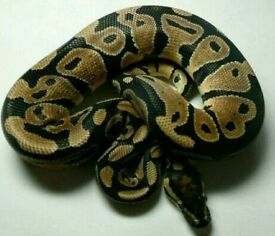 Python royal ball python 100%het clown quality male friendly