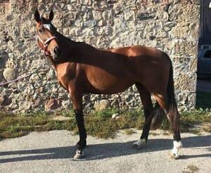 Perfect first .90/1M jumper - Canadian Sport Horse mare