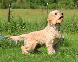 F1B BEAUTIFUL GOLDENDOODLES