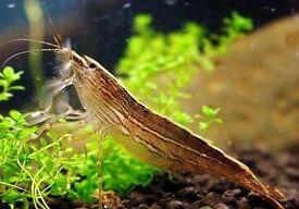 1 Rock Shrimp
