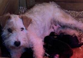White show lakeland xkc regestered blue tan terrier