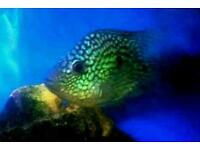Texsa cichlids female