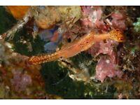 MARINE FISH / LEANDER SHRIMP / DONALD DUCK SHRIMP GREAT LITTLE CREATURE