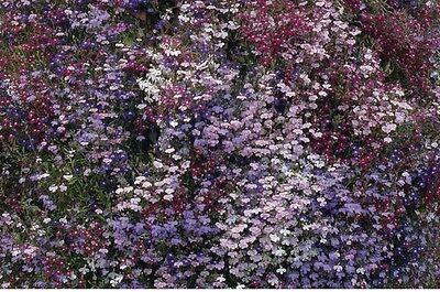 25000 Seeds Cambridge Blue Flower Lobelia Bedding Large