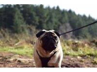 Friendly Dog Walking Service - Wigan (Fully Insured)