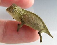 Breeding Treo of pygmy chameleons