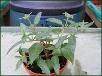 Fuchsia plants for sale £1.50 each