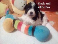 Puppies 3/4 Bichon And 1/4 Chihuahua