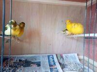 hen canaries
