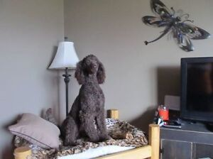 Standard Chocolate Poodle For Sale To The Right Home