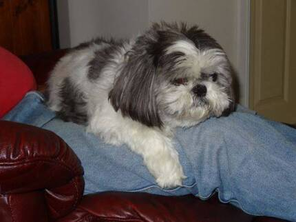 Shihtzu missing from Picnic Point Caravan Park, Mathoura NSW Tranmere Clarence Area Preview
