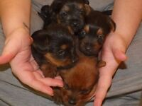 Yorkshire Terrier x Pomeranian Pups for Sale