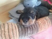 KC Registered Wire Haired Dachshund Puppies