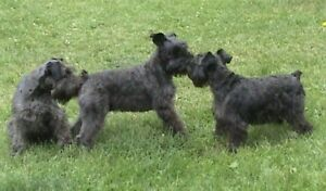 BLACK - Mini Schnauzer Puppies