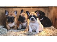 4 French bulldog puppies for sale