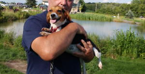 Precious POCKET BEAGLE puppies Reg'd Purebred Champion line