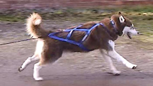 Looking for a dog sledding harness and lighted collar/vest