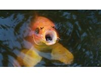 30+ koi carp for sale pond fish 4'' to 25''