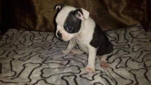 Frenchton PUPPIES - French Bulldog Male/Boston Terrier female Peterborough Peterborough Area image 8