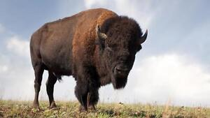 Ground Buffalo Meat for Sale