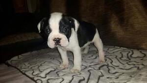 Frenchton PUPPIES - French Bulldog Male/Boston Terrier female